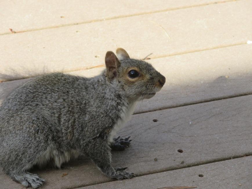 Squirrel on deck