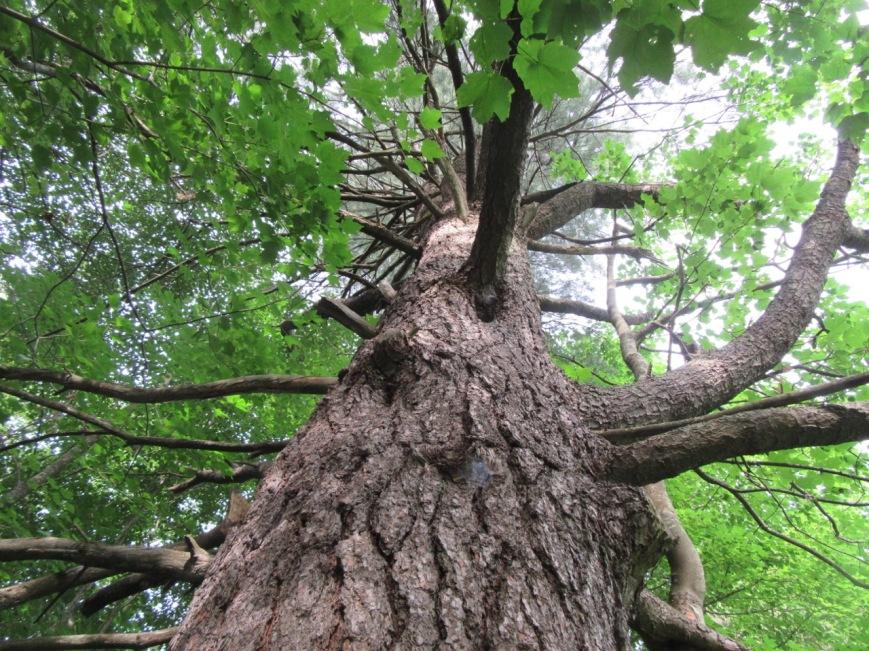 White Pine in summer