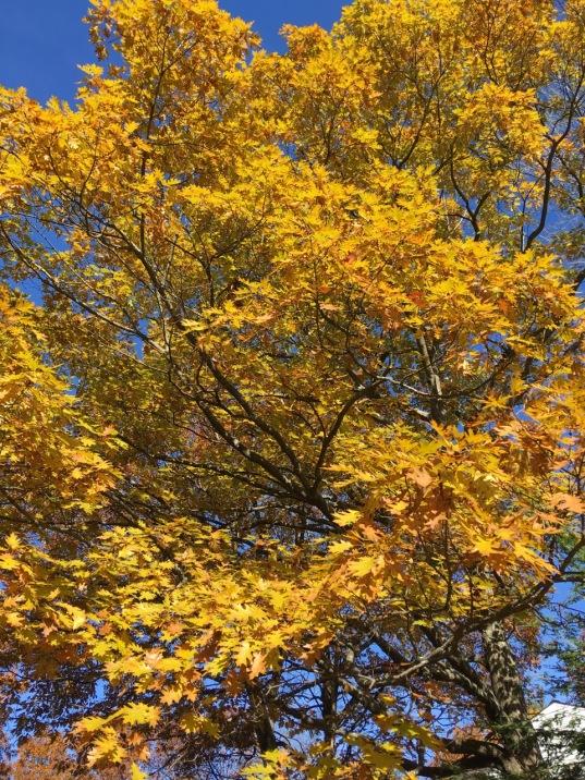 Oak Leaf Gold