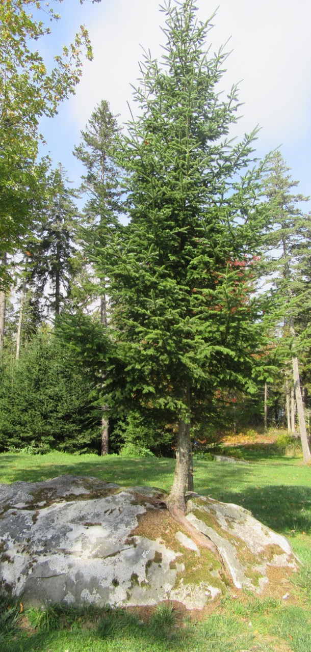 Spruce in Rock sunny – Version 2