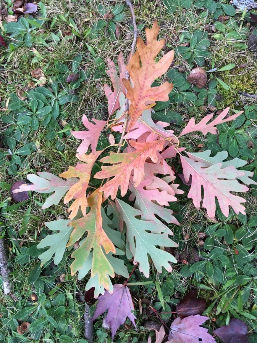 White oak leaf rainbow