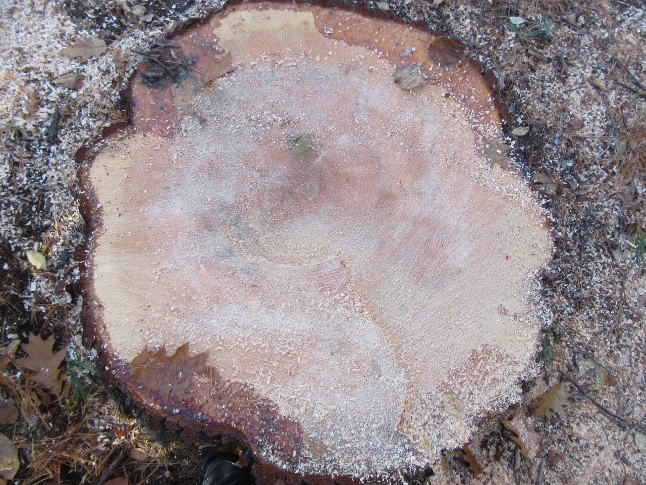 White Pine Cut with markings