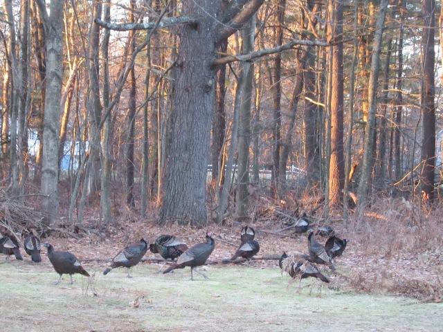 Turkey clan