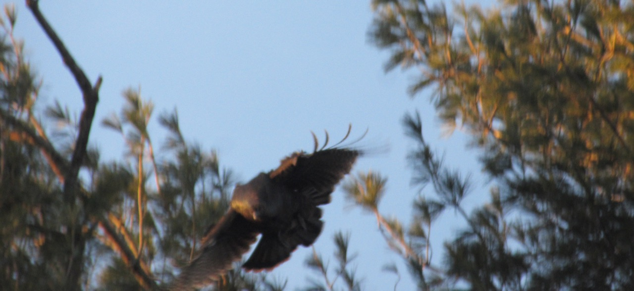 Turkey in flight