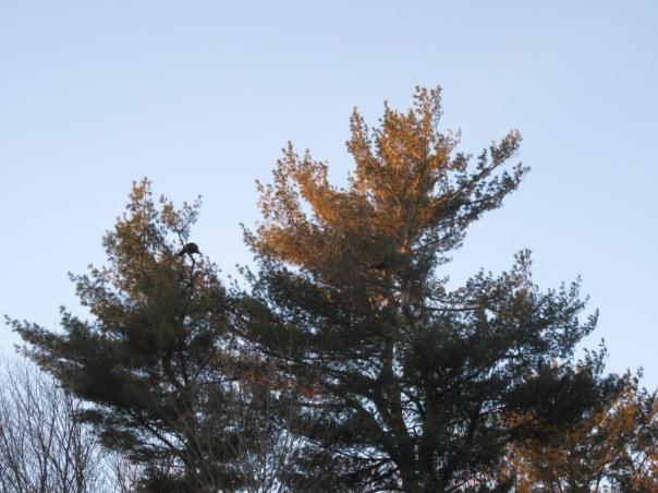 Turkey in top of pines