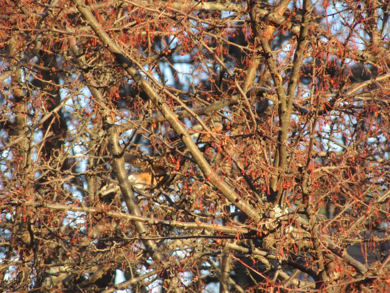 Robins in berry tree