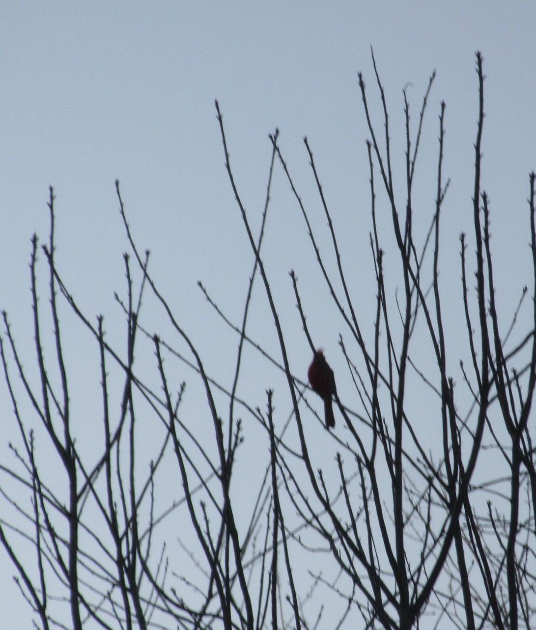 Cardinal with tufts