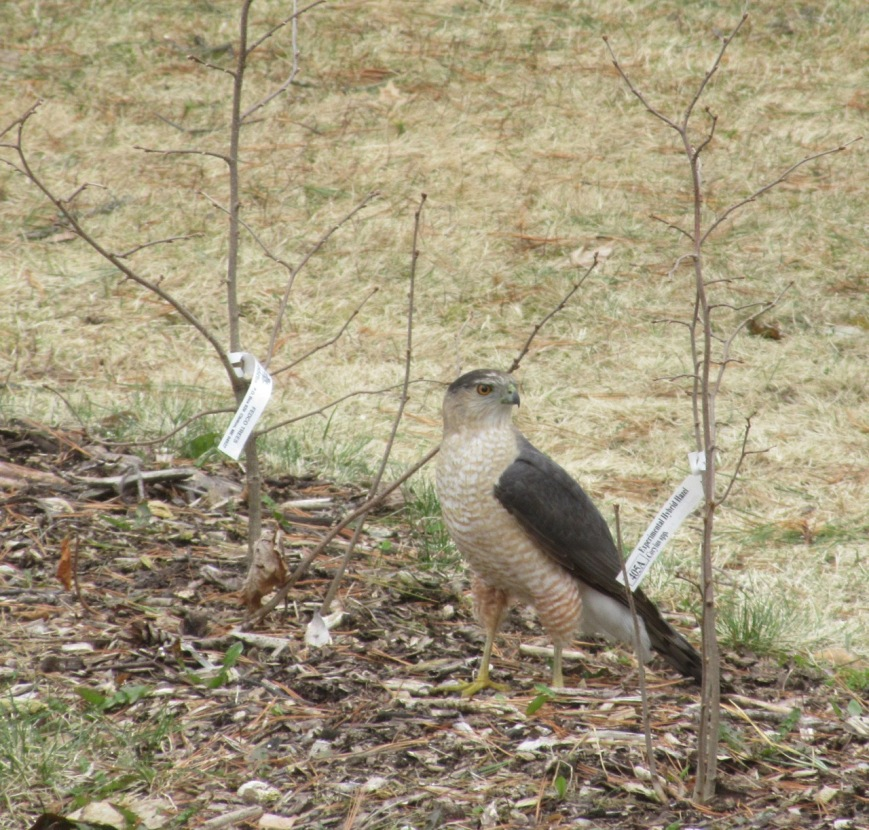 Coopers Hawk in hedge