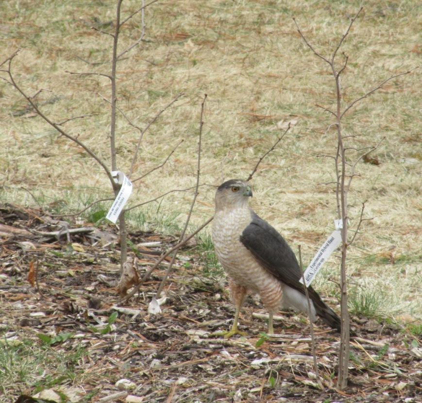 Coopers Hawk in hedge