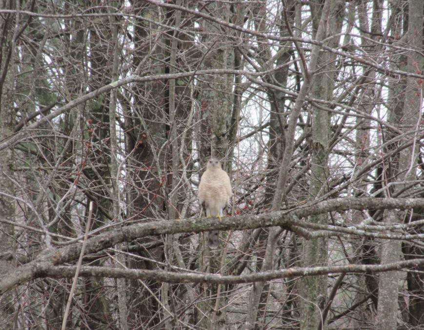 Coopers Hawk in Tree