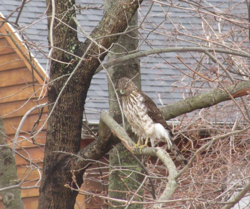 Coopers Hawk Juvenile