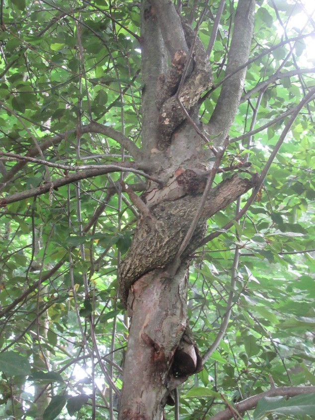 Bittersweet embedded in tree trunk