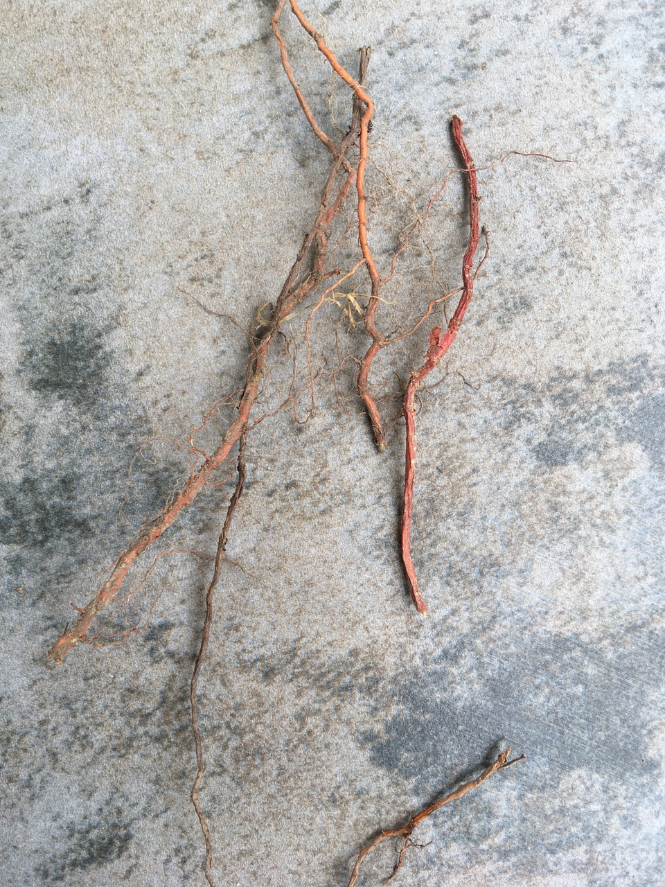 Bittersweet roots (tiny ones)