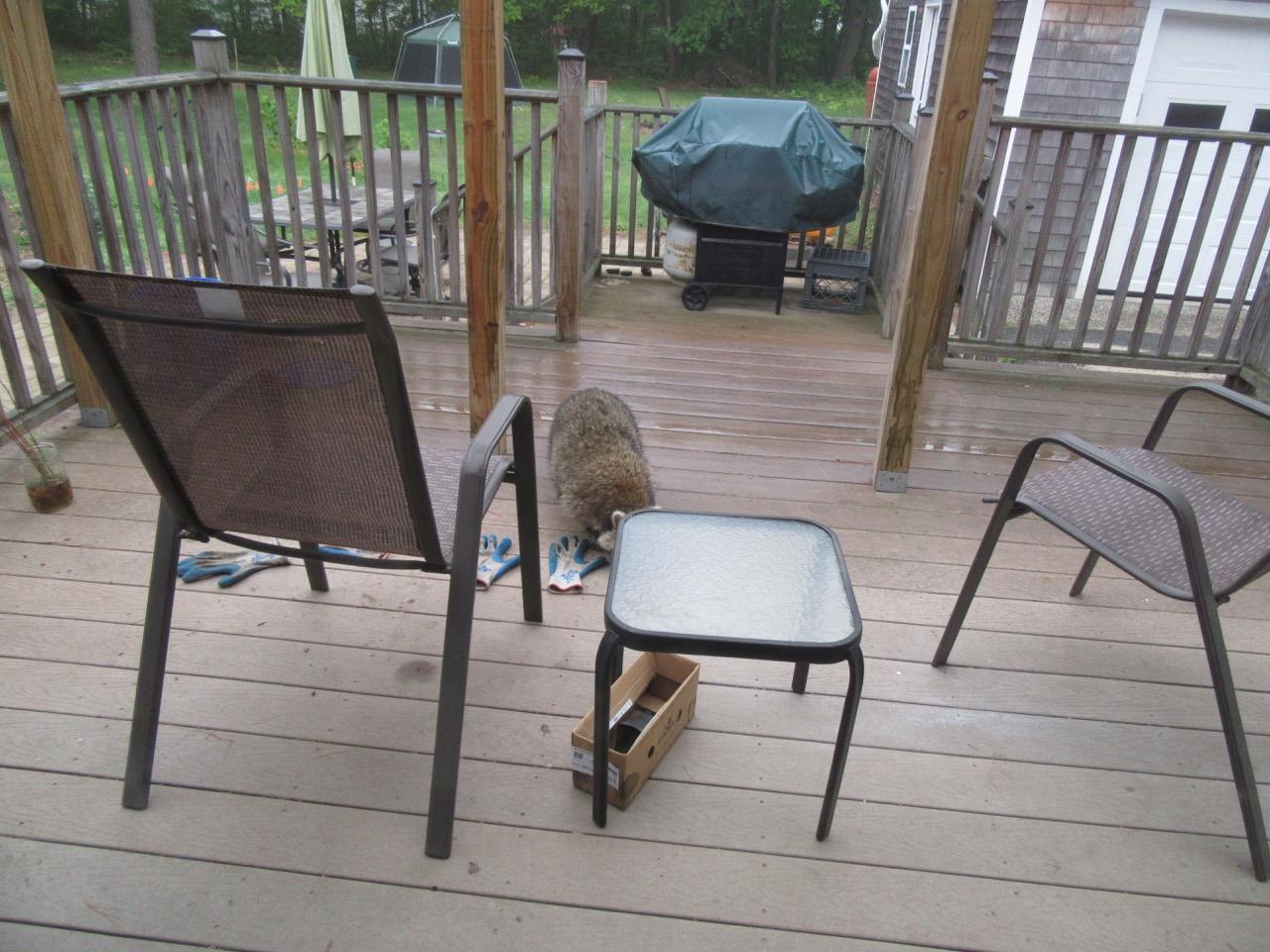 Raccoon on the deck
