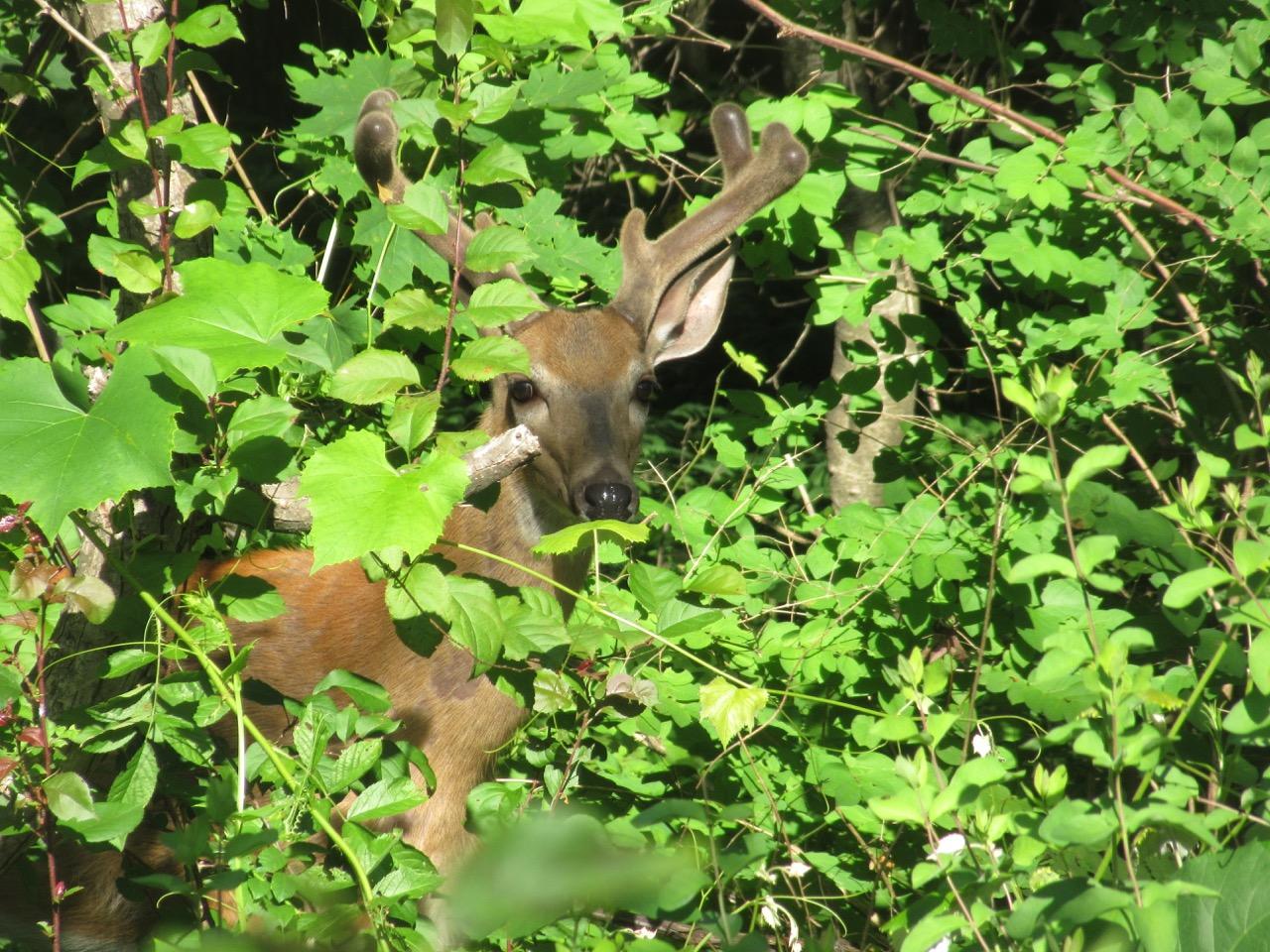 Deer near our yard