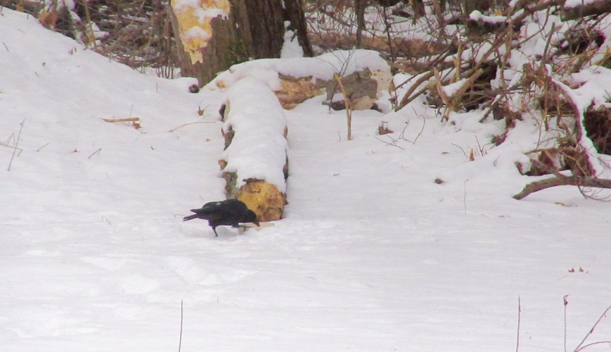 Crow eating butter – Version 2