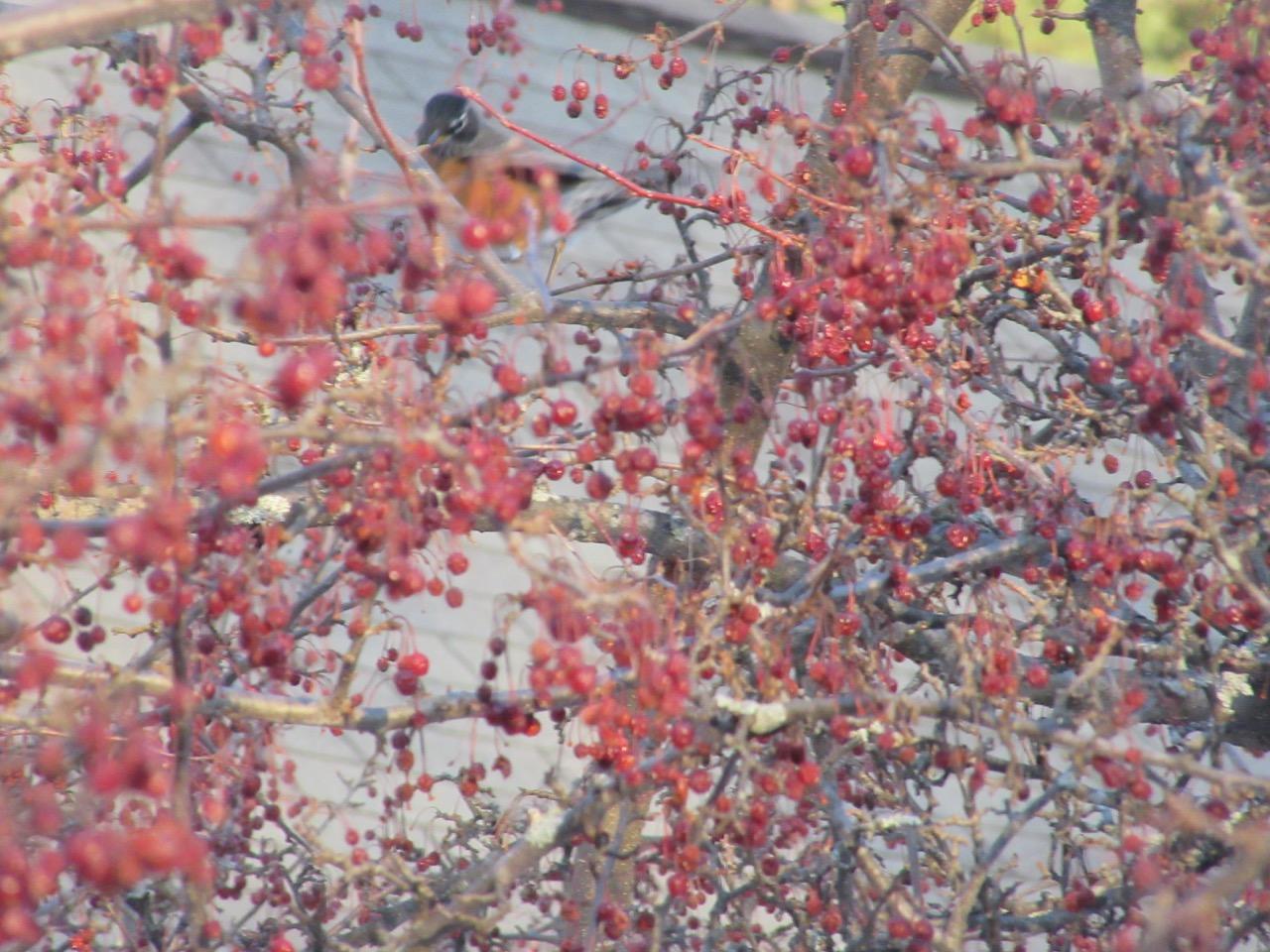 Robin hidden behind berries