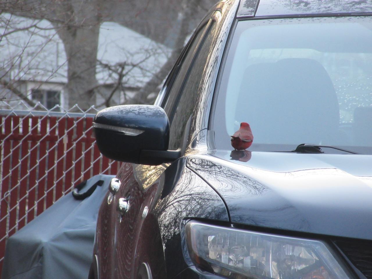 Cardinal on car 2019