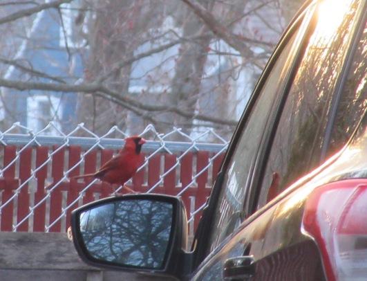 Cardinal on car – 2020
