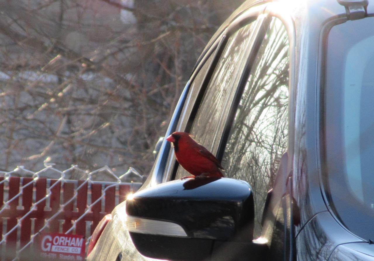 Cardinal on side mirror – 2018