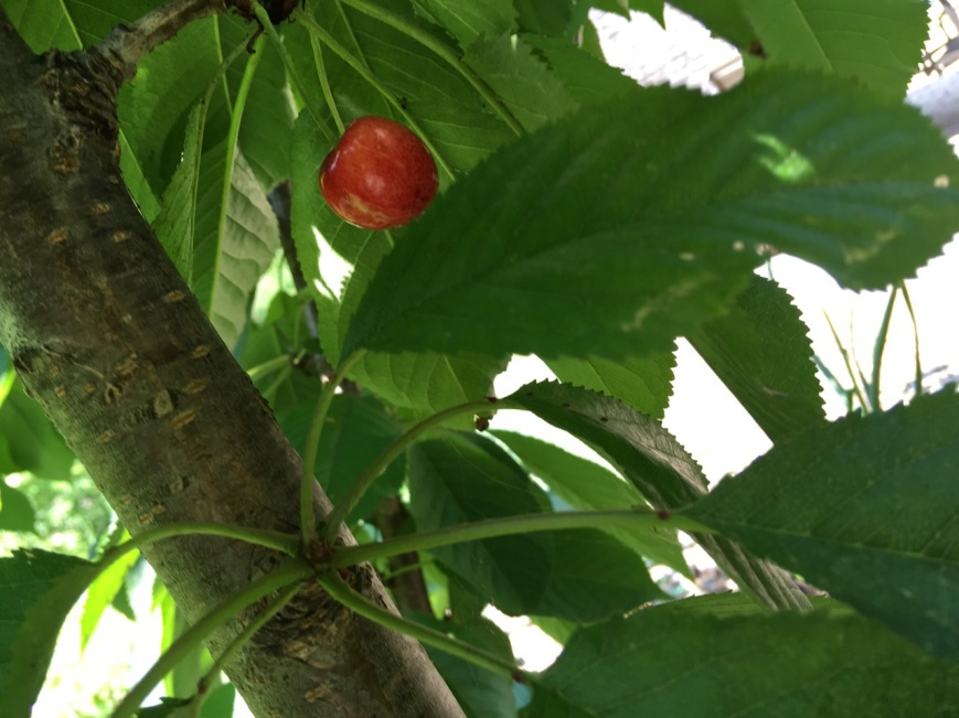 First cherry